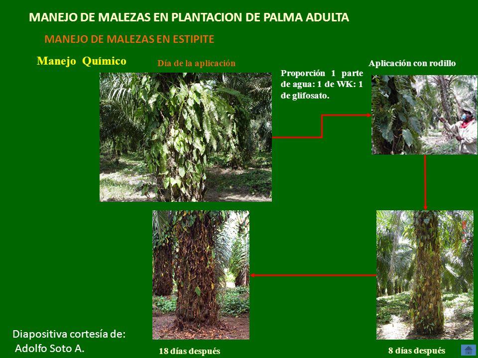 MANEJO DE MALEZAS EN PLANTACION DE PALMA ADULTA MANEJO DE MALEZAS EN ESTIPITE Manejo Químico Día de la aplicación Aplicación con rodillo 8 días despué