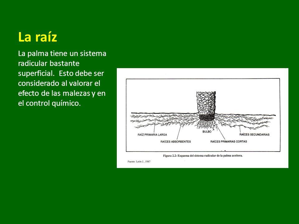 La raíz La palma tiene un sistema radicular bastante superficial. Esto debe ser considerado al valorar el efecto de las malezas y en el control químic
