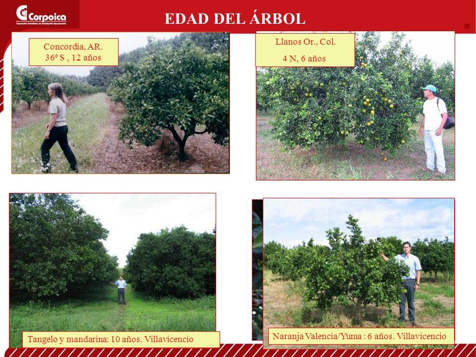 EDAD DEL ÁRBOL Llanos Or., Col. 4 N, 6 años Concordia, AR. 36º S, 12 años Tangelo y mandarina: 10 años. Villavicencio Naranja Valencia/Yuma : 6 años.