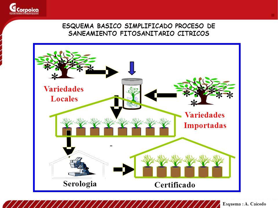 ESQUEMA BASICO SIMPLIFICADO PROCESO DE SANEAMIENTO FITOSANITARIO CITRICOS * * * * * * * Variedades Locales * * * * * * * Variedades Importadas Serolog