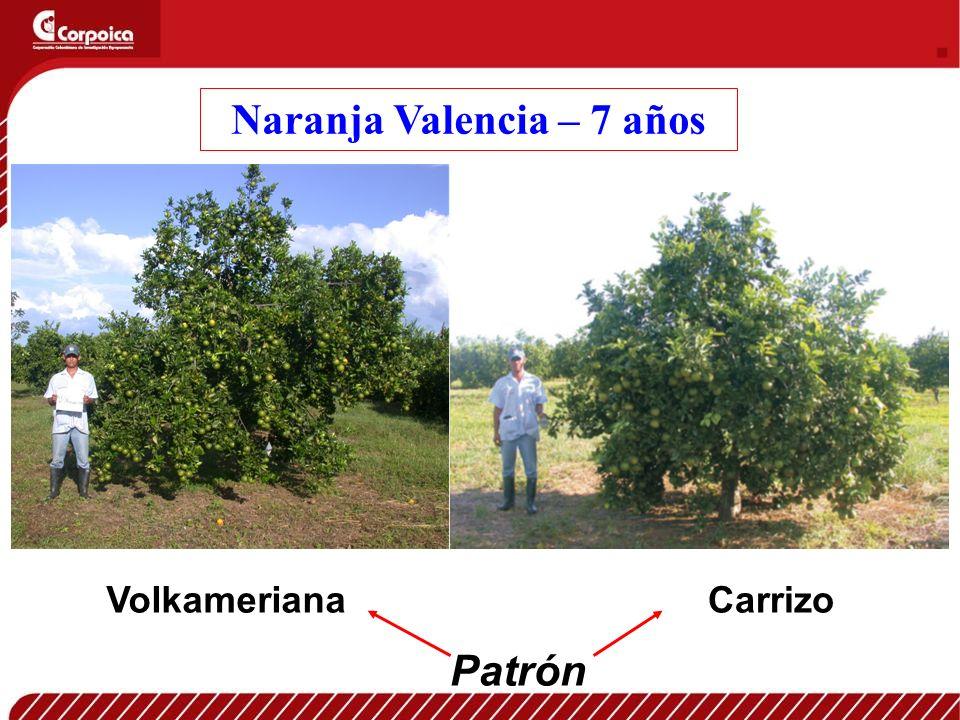 Naranja Valencia – 7 años VolkamerianaCarrizo Patrón