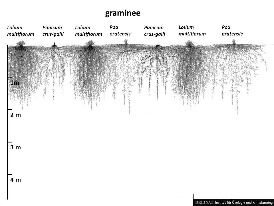 1m 2 m 3 m 4 m graminee Lolium multiflorum Panicum crus-galli Poa pratensis Lolium multiflorum Poa pratensis Panicum crus-galli