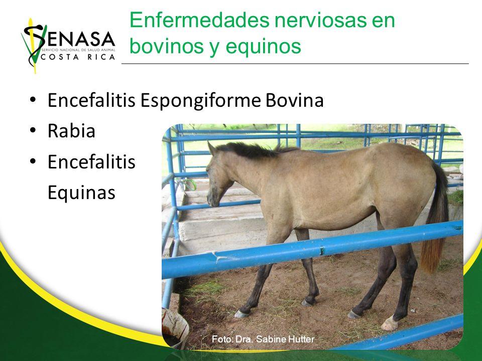 Enfermedades de camarón Enfermedad de la cola Blanca Mancha blanca Cabeza amarilla IHHNV Taura Foto: Dra.