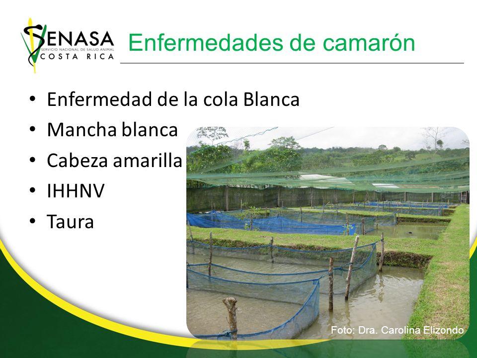 Gusaneras en ganado Foto: Dr. Rafael Vindas