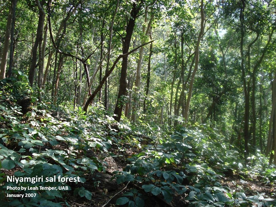 Niyamgiri sal forest Photo by Leah Temper, UAB January 2007