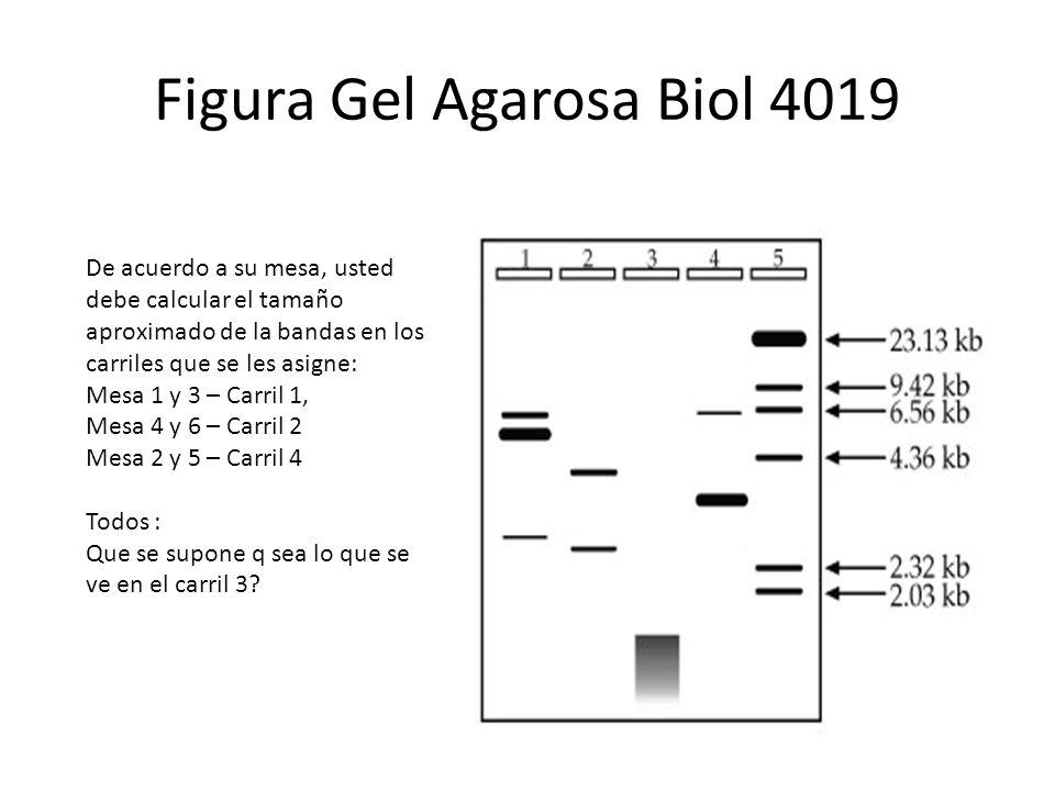 Figura Gel Agarosa Biol 4019 De acuerdo a su mesa, usted debe calcular el tamaño aproximado de la bandas en los carriles que se les asigne: Mesa 1 y 3