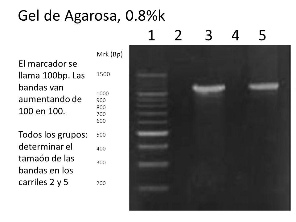 Gel de Agarosa, 0.8%k 1 2 3 4 5 Mrk (Bp) 1500 1000 900 800 700 600 500 400 300 200 El marcador se llama 100bp. Las bandas van aumentando de 100 en 100