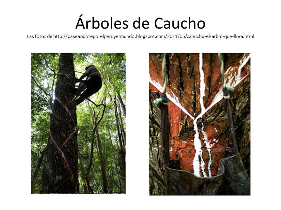 Árboles de Caucho Las fotos de http://paseandoteporelperuyelmundo.blogspot.com/2011/06/cahuchu-el-arbol-que-llora.html