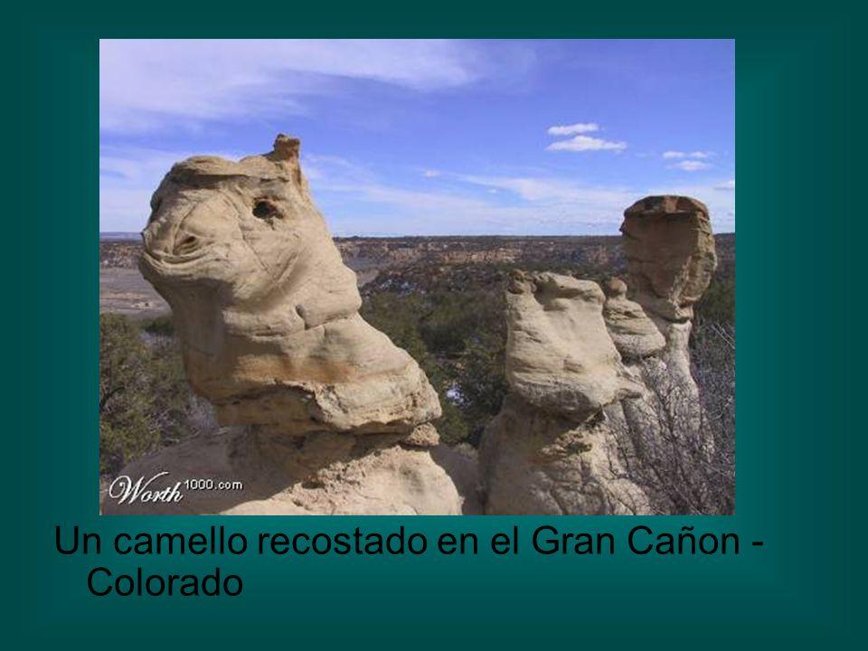 Un camello recostado en el Gran Cañon - Colorado