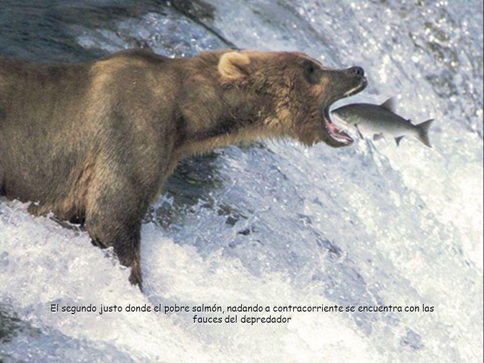 El segundo justo donde el pobre salmón, nadando a contracorriente se encuentra con las fauces del depredador