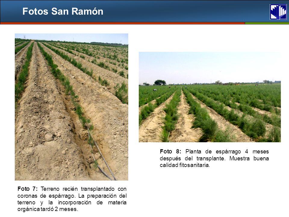 Fotos San Ramón Foto 7: Terreno recién transplantado con coronas de espárrago.