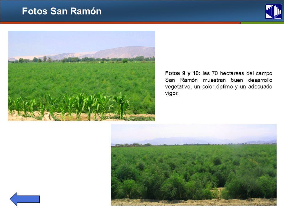 Fotos San Ramón Fotos 9 y 10: las 70 hectáreas del campo San Ramón muestran buen desarrollo vegetativo, un color óptimo y un adecuado vigor.