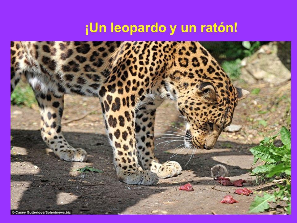 ¡Un leopardo y un ratón!
