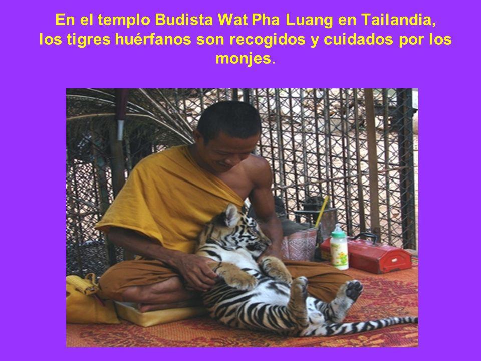 En el templo Budista Wat Pha Luang en Tailandia, los tigres huérfanos son recogidos y cuidados por los monjes.