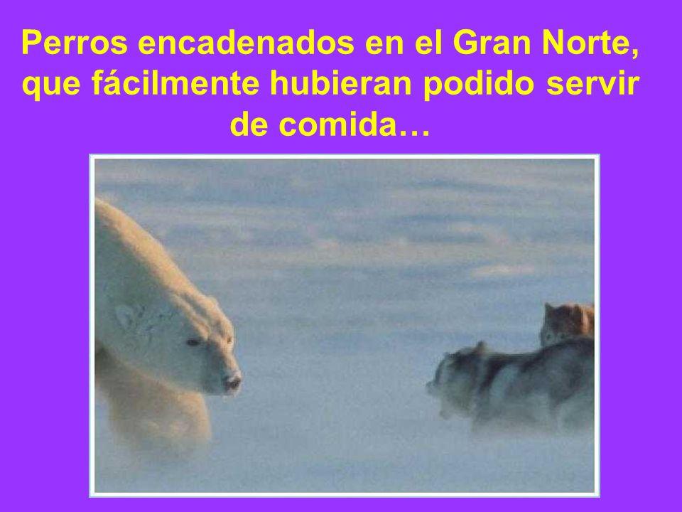 Perros encadenados en el Gran Norte, que fácilmente hubieran podido servir de comida…