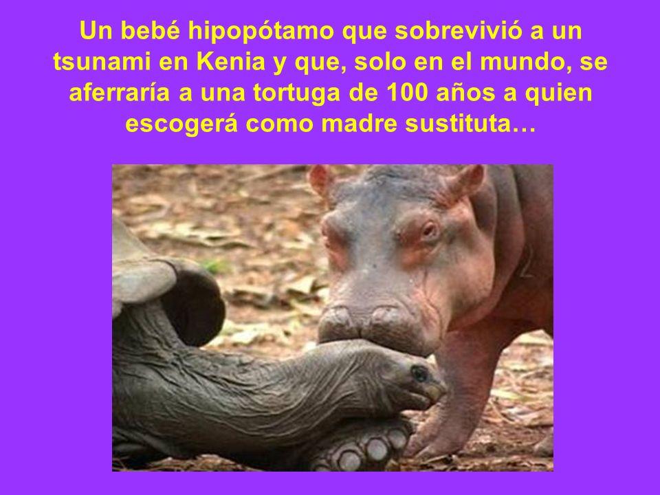 Un bebé hipopótamo que sobrevivió a un tsunami en Kenia y que, solo en el mundo, se aferraría a una tortuga de 100 años a quien escogerá como madre sustituta…