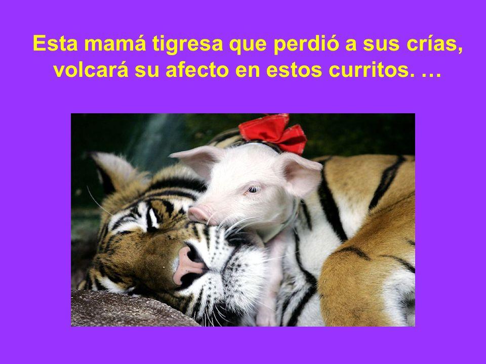 Esta mamá tigresa que perdió a sus crías, volcará su afecto en estos curritos. …