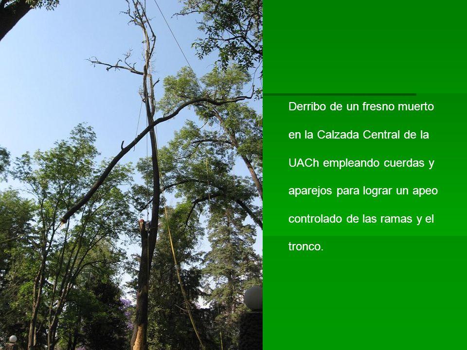 Derribo de un fresno muerto en la Calzada Central de la UACh empleando cuerdas y aparejos para lograr un apeo controlado de las ramas y el tronco.