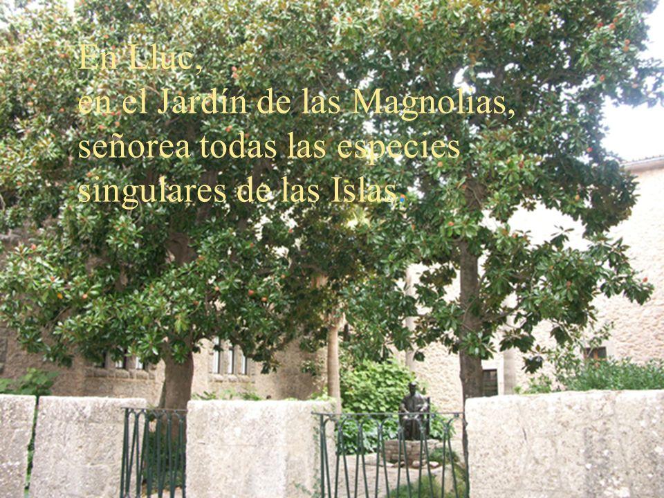 En Lluc, en el Jardín de las Magnolias, señorea todas las especies singulares de las Islas.