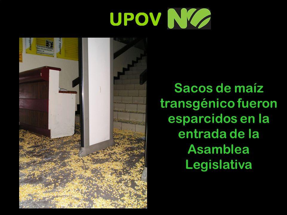 Sacos de maíz transgénico fueron esparcidos en la entrada de la Asamblea Legislativa
