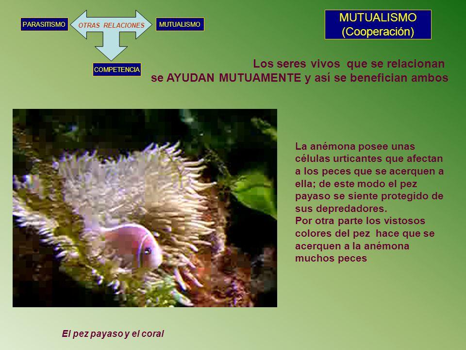 OTRAS RELACIONES MUTUALISMOPARASITISMO COMPETENCIA MUTUALISMO (Cooperación) El pez payaso y el coral La anémona posee unas células urticantes que afec