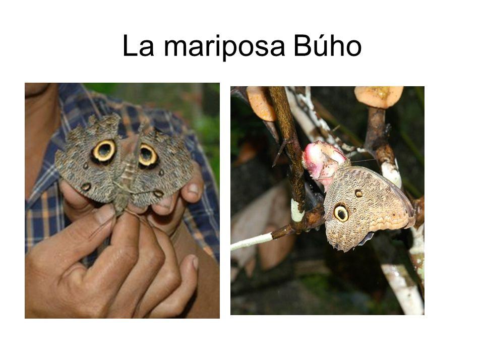 La mariposa Búho