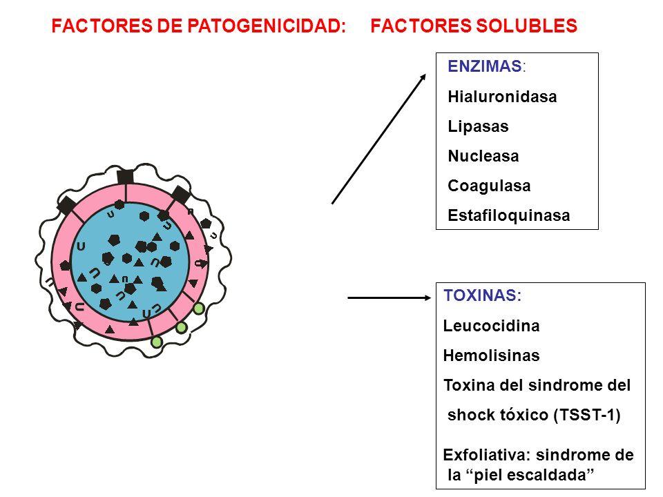 TOXINAS: Leucocidina Hemolisinas Toxina del sindrome del shock tóxico (TSST-1) Exfoliativa: sindrome de la piel escaldada ENZIMAS: Hialuronidasa Lipas