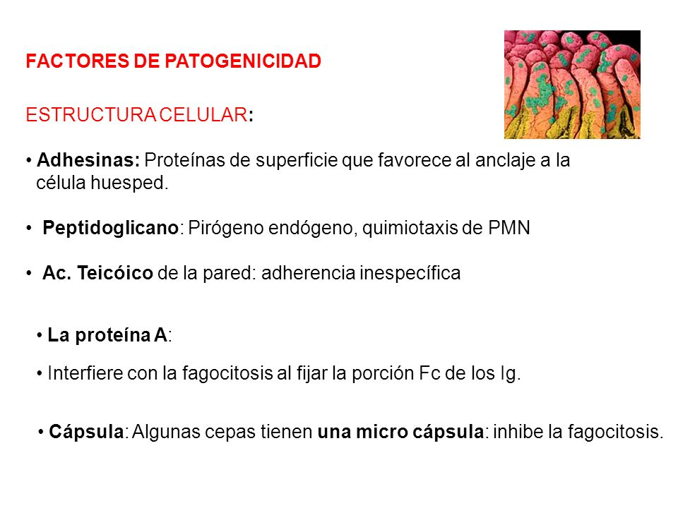 FACTORES DE PATOGENICIDAD La proteína A: Interfiere con la fagocitosis al fijar la porción Fc de los Ig. ESTRUCTURA CELULAR: Adhesinas: Proteínas de s