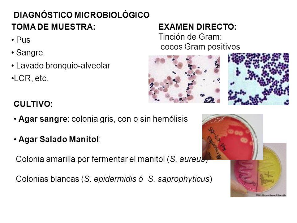 DIAGNÓSTICO MICROBIOLÓGICO TOMA DE MUESTRA: Pus Sangre Lavado bronquio-alveolar LCR, etc. Agar Salado Manitol: Colonia amarilla por fermentar el manit