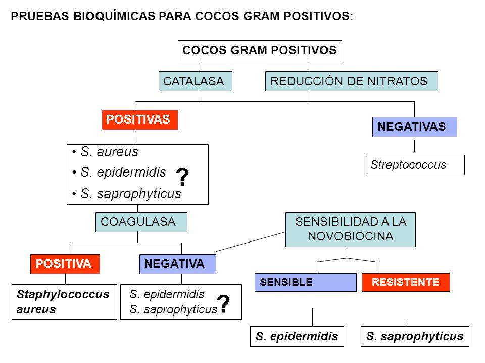 PRUEBAS BIOQUÍMICAS PARA COCOS GRAM POSITIVOS: REDUCCIÓN DE NITRATOS NEGATIVAS Streptococcus COCOS GRAM POSITIVOS CATALASA S. aureus S. epidermidis S.