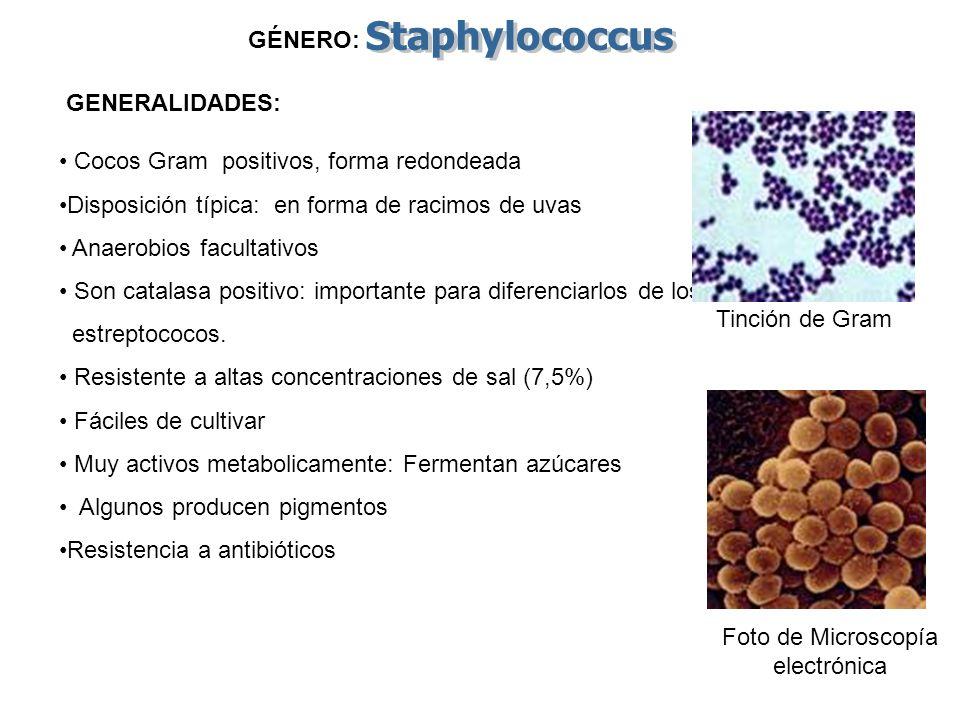 GÉNERO: Cocos Gram positivos, forma redondeada Disposición típica: en forma de racimos de uvas Anaerobios facultativos Son catalasa positivo: importan