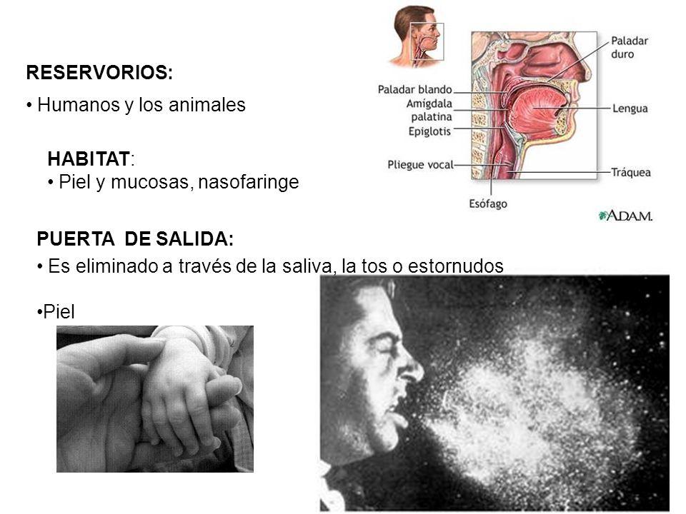 RESERVORIOS: Humanos y los animales PUERTA DE SALIDA: Es eliminado a través de la saliva, la tos o estornudos Piel HABITAT: Piel y mucosas, nasofaring