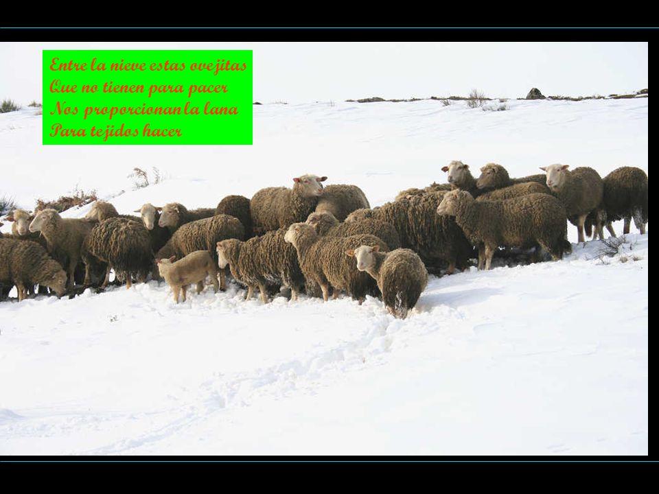 Entre la nieve estas ovejitas Que no tienen para pacer Nos proporcionan la lana Para tejidos hacer