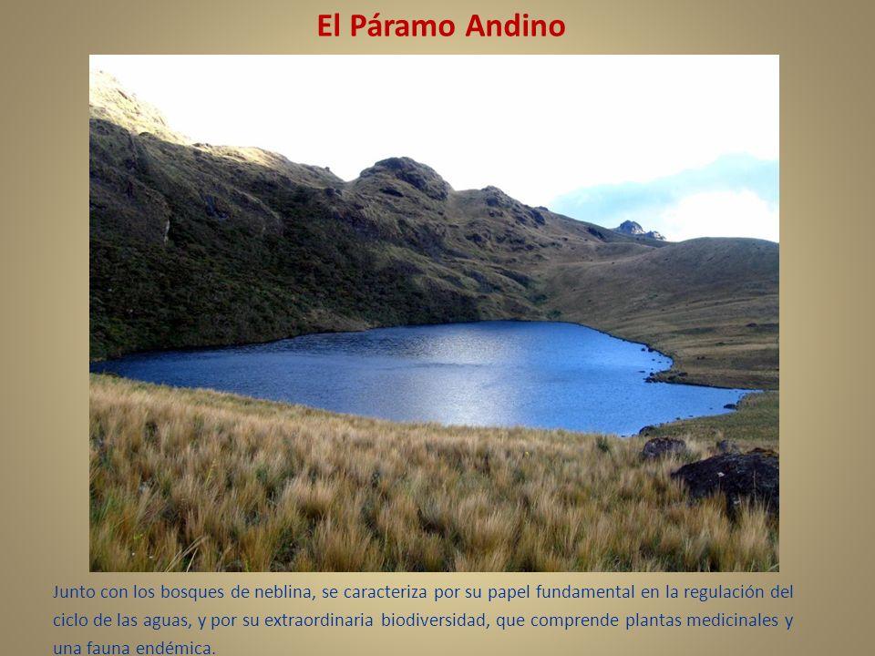 El Páramo Andino Junto con los bosques de neblina, se caracteriza por su papel fundamental en la regulación del ciclo de las aguas, y por su extraordi
