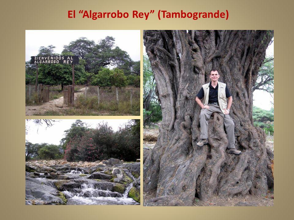 El Algarrobo Rey (Tambogrande)