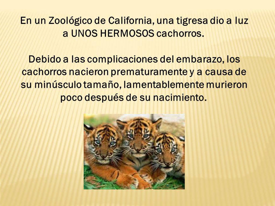 La madre tigresa se recuperó del parto, pero asimismo empezó a declinar su salud y físicamente no se veía bien.