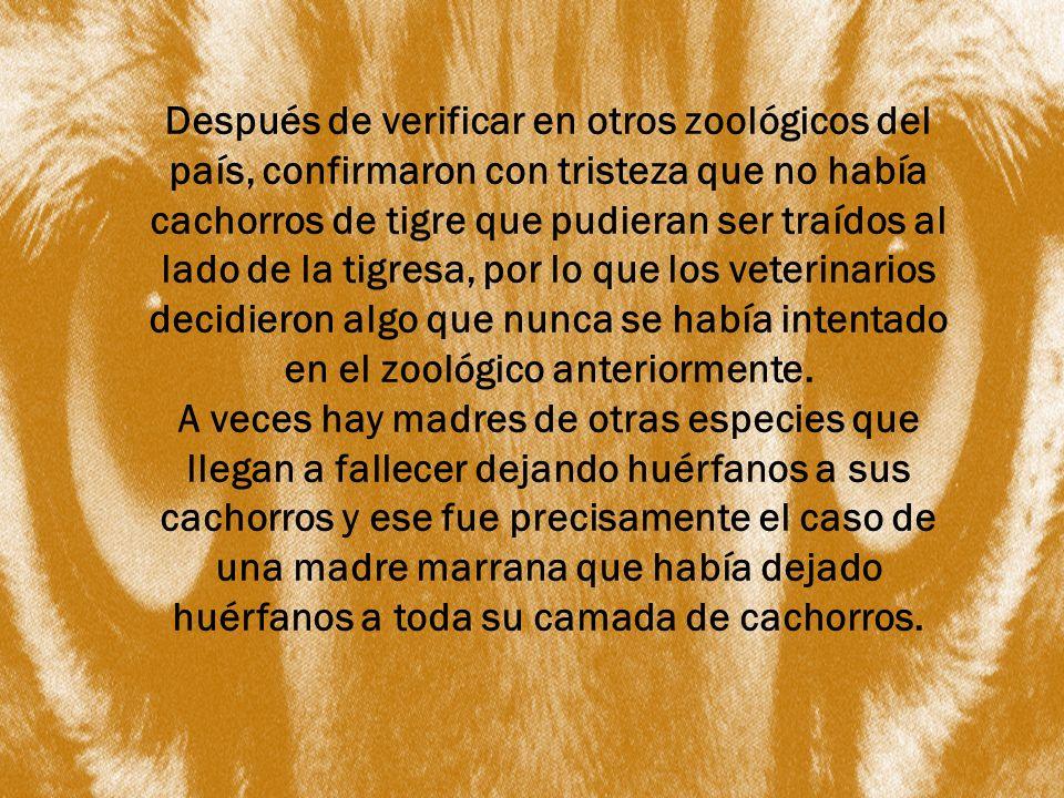 Después de verificar en otros zoológicos del país, confirmaron con tristeza que no había cachorros de tigre que pudieran ser traídos al lado de la tig