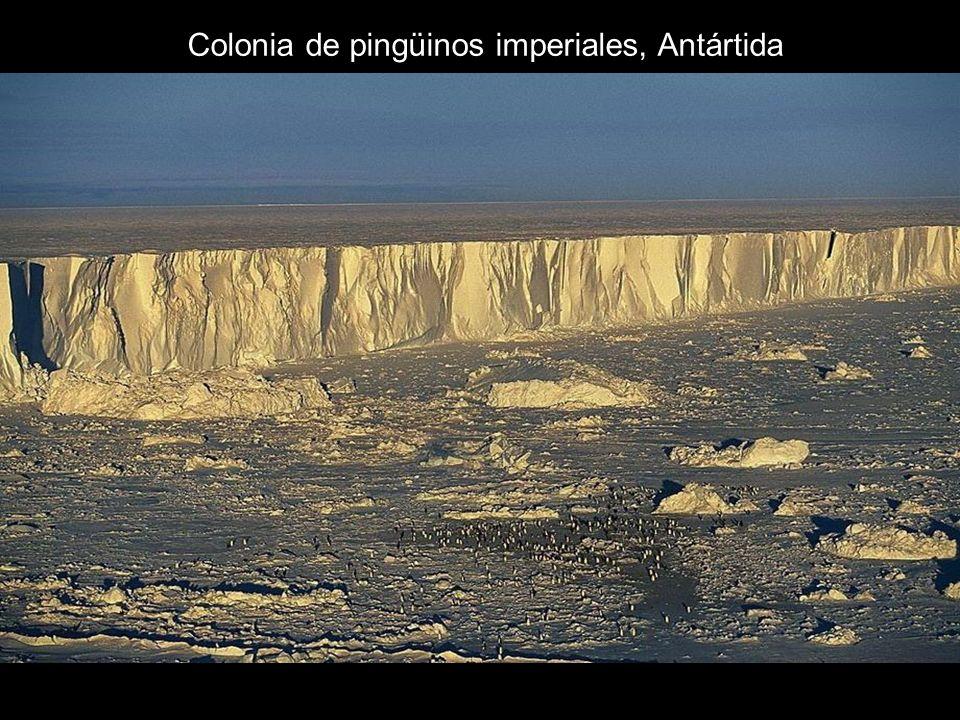 Colonia de pingüinos imperiales, Antártida