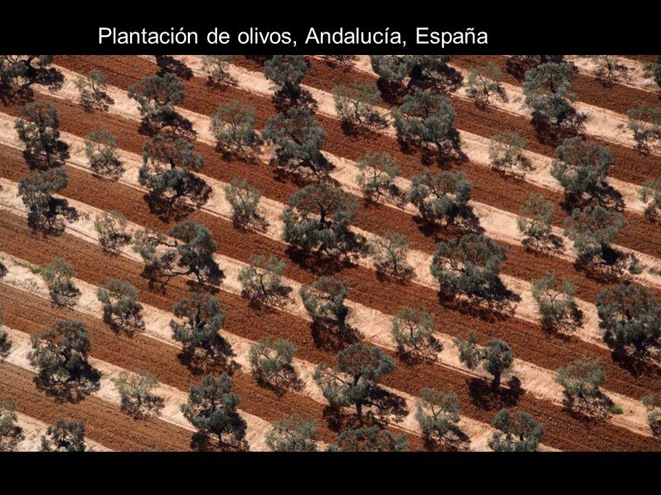 Plantación de olivos, Andalucía, España