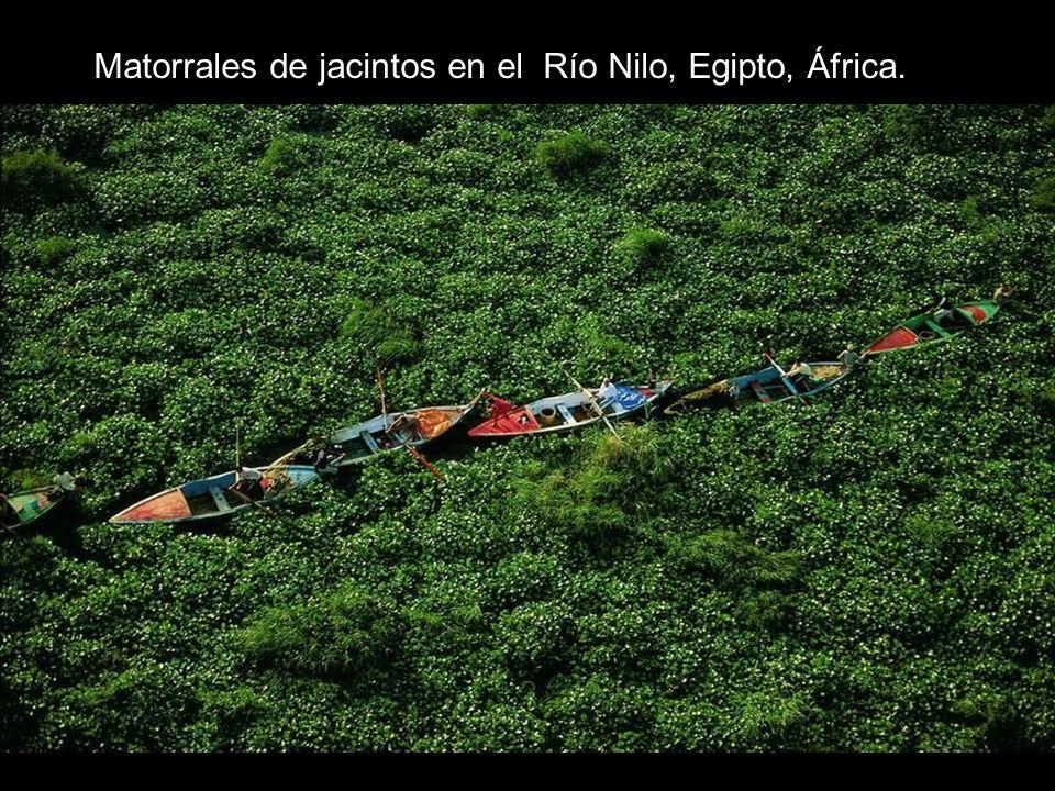 Matorrales de jacintos en el Río Nilo, Egipto, África.