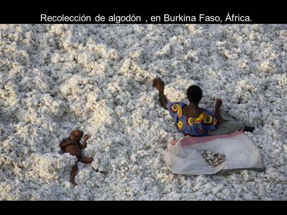 Recolección de algodón, en Burkina Faso, África.