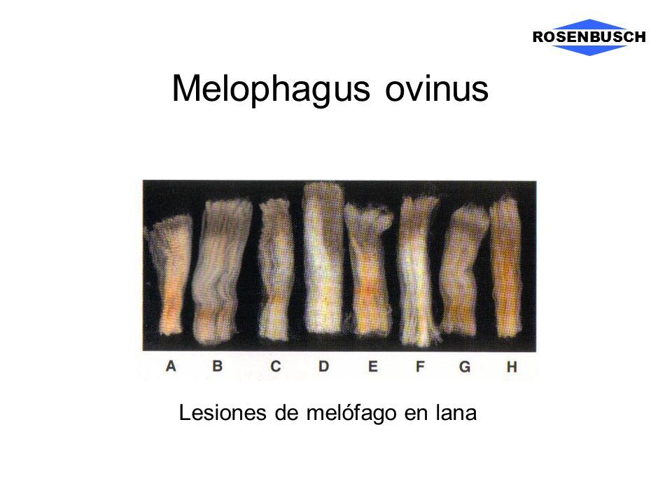 Melophagus ovinus ROSENBUSCH Lesiones de melófago en lana