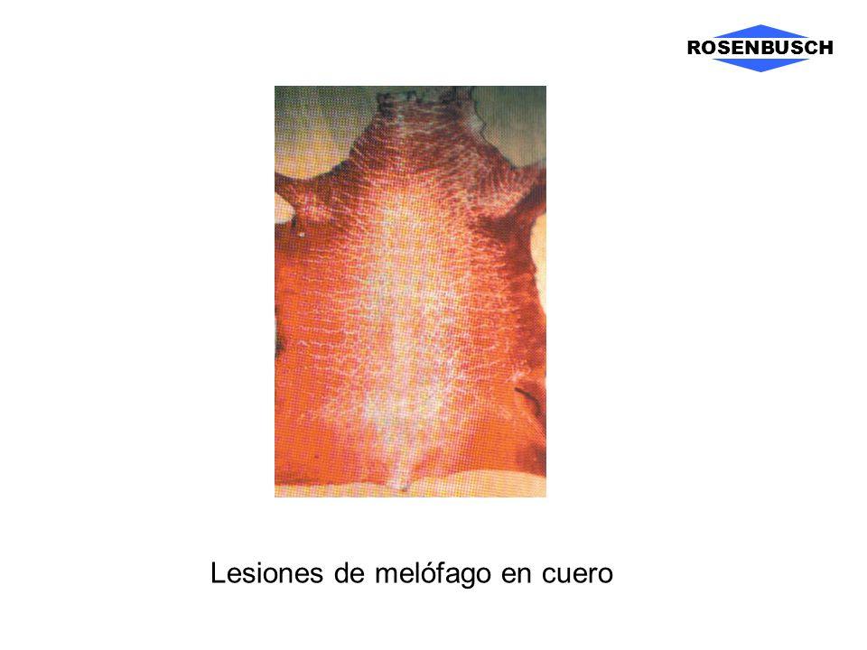 ROSENBUSCH Lesiones de melófago en cuero
