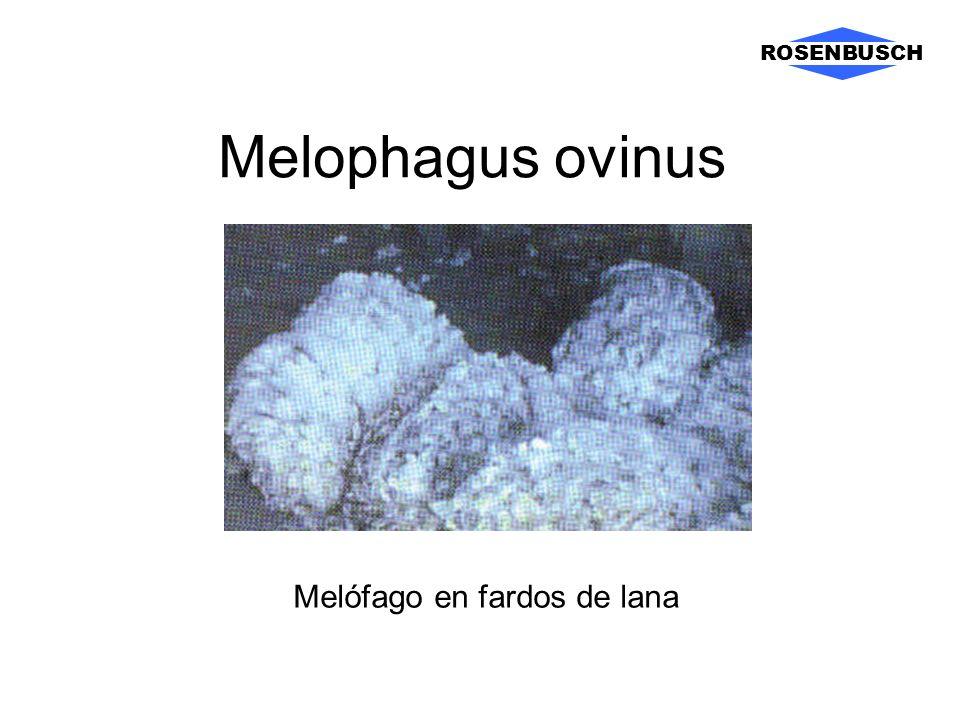 Melophagus ovinus ROSENBUSCH Melófago en fardos de lana
