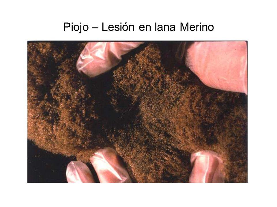 Piojo – Lesión en lana Merino