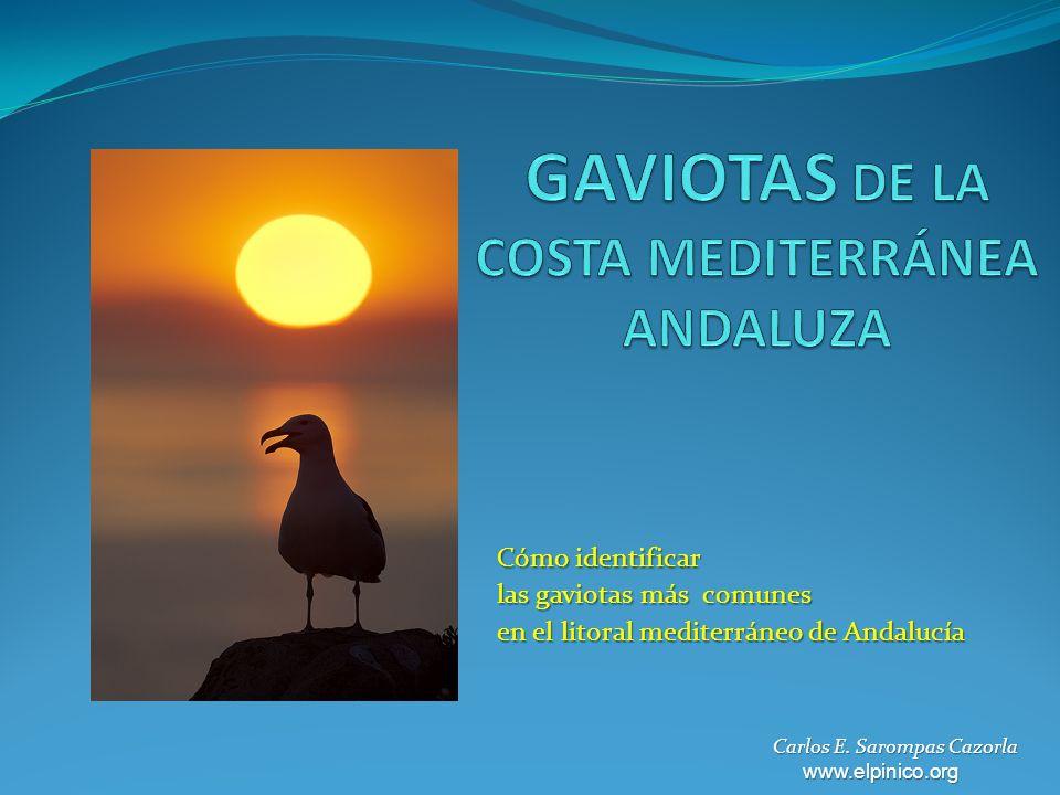 Cómo identificar las gaviotas más comunes en el litoral mediterráneo de Andalucía Carlos E.