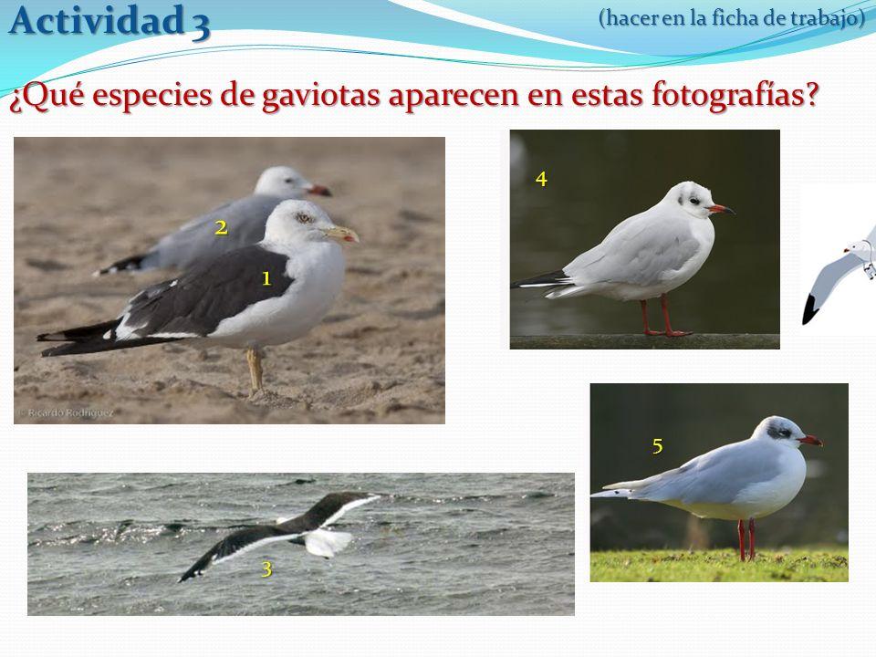 ¿Qué especies de gaviotas aparecen en estas fotografías.