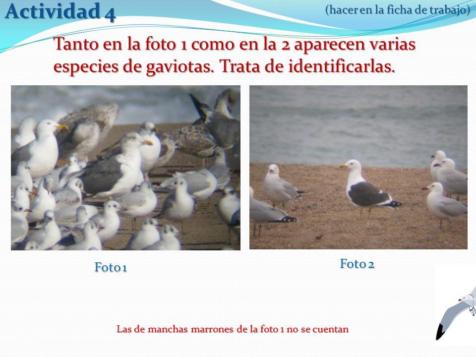 Tanto en la foto 1 como en la 2 aparecen varias especies de gaviotas.