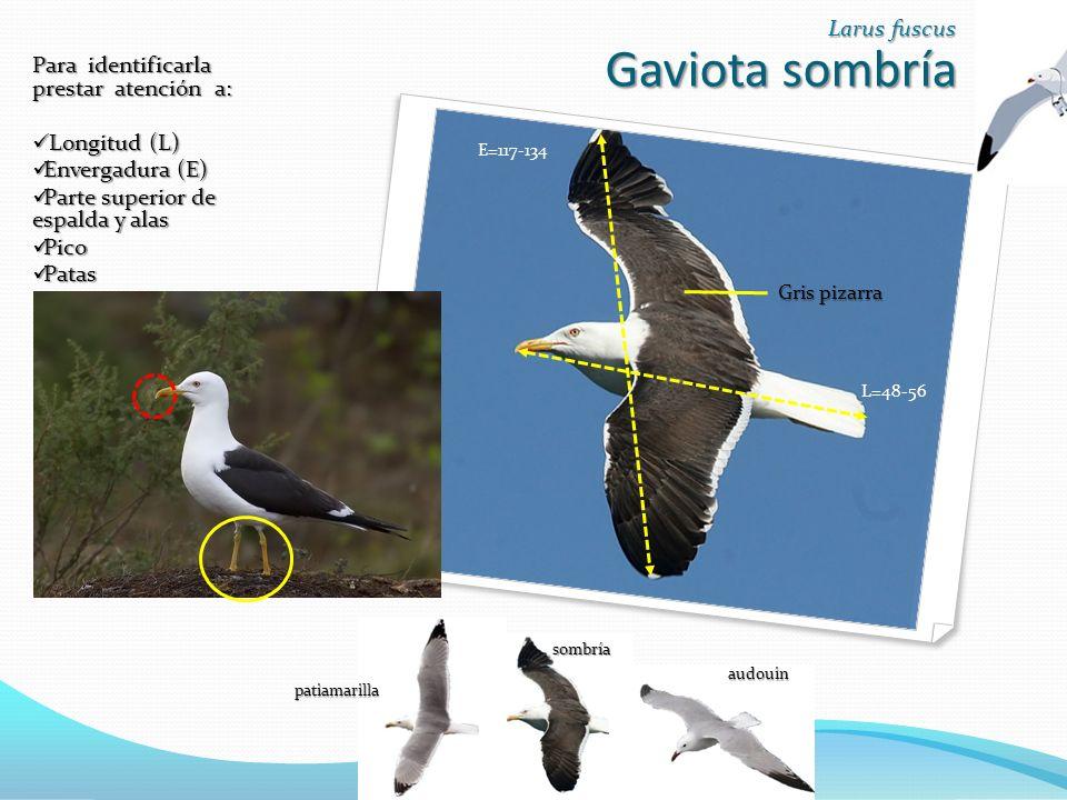 Gaviota sombría Gaviota sombría Larus fuscus E=117-134 L=48-56 Para identificarla prestar atención a: Longitud (L) Longitud (L) Envergadura (E) Envergadura (E) Parte superior de espalda y alas Parte superior de espalda y alas Pico Pico Patas Patas Gris pizarra patiamarilla sombría audouin