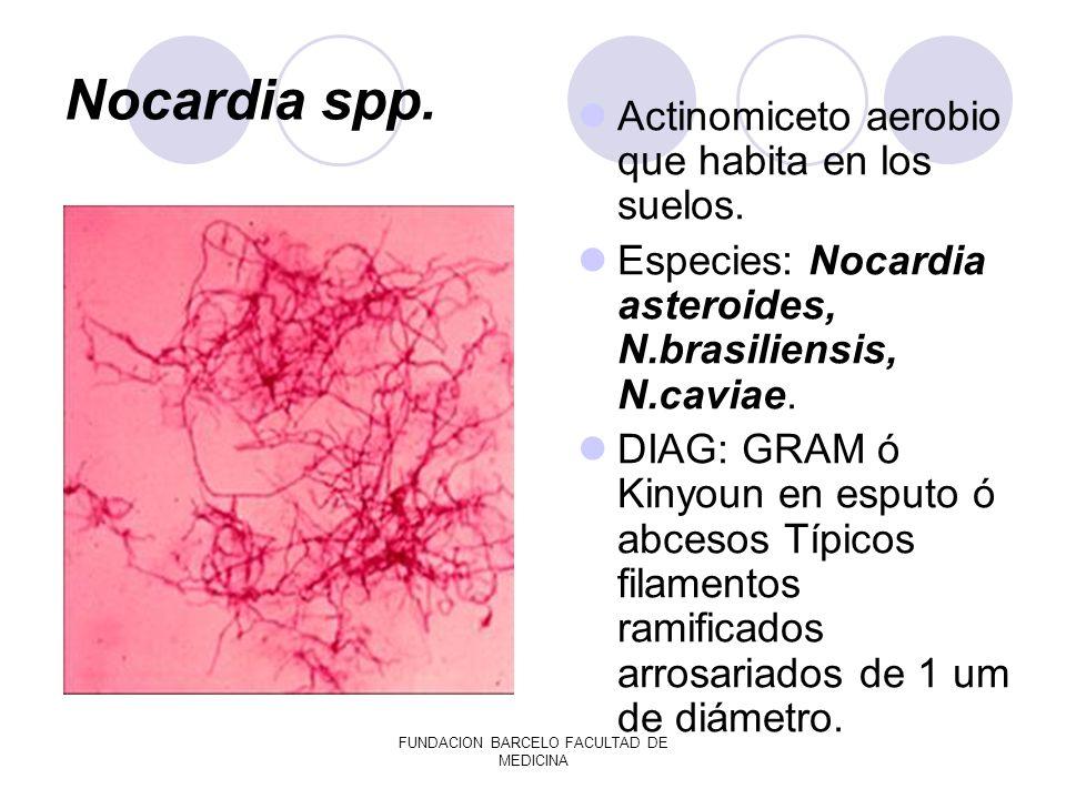 FUNDACION BARCELO FACULTAD DE MEDICINA Nocardia spp. Actinomiceto aerobio que habita en los suelos. Especies: Nocardia asteroides, N.brasiliensis, N.c